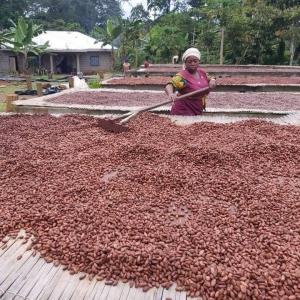 """[Mbô 71%, un chocolat de caractère, à la couleur unique] Mbô que l'on prononce [embo] signifie fève dans le dialecte Eton qu'utilise la tribu des « Béti » nichée dans les forêts tropicales de la région de Lékié, au Cameroun. 🇨🇲 Ses fèves, rouge brique et acajou profond, semblent rappeler la terre rouge de ces forêts. Des notes de  fruits jaunes bien mûrs, une franche intensité de cacao aux notes grillées et une douceur boisée et légèrement épicée… 🌶 Mbô est un chocolat de caractère qui revêt une belle complexité aromatique. Découvrez toute l'histoire de cette nouvelle origine en story à la une ou sur Youtube et rendez-vous sur notre site pour professionnels pour retrouver Mbô http://www.chocolat-weiss-professionnel.fr/ #chocolatengage @chocolatiers.engages   [Mbô 71%, fine chocolate and its unique colour] Mbô, pronounced [embo], means bean in the Eton dialect used by the """"Béti"""" people in the tropical forests of the Lékié region in Cameroon. 🇨🇲 Its beans have a unique Cashew color reminiscent of ochre earth in the tropical forests of the Lékié region. It has fruity notes, a more intense grilled cocoa taste that fades into a slightly spicy, woody aroma finishing with a pleasant bitterness... 🌶 Mbô is a chocolate with character and a beautiful aromatic complexity. Discover the whole story of this new origin in our highlighted story or on Youtube and visit our website for professionals to find Mbô http://www.chocolat-weiss-professionnel.fr/ #chocolatengage @chocolatiers.engages    #chocolatiersengages #changetheworldwithchocolate #duchocolatpourunmondemeilleur #chocolate #weisschocolate #tasty #chocolatelovers #madeinfrance #chocolateaddict #camerounchocolate #traçabilité #circuitscourts"""