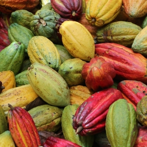 [Mbô, le cacao fin 100% tracé !] 📍 A la création de la coopérative et sur les recommandations des @chocolatiers.engages, Aristide Tchemtchoua a mis en place un processus post-récolte des fèves de 20 jours afin de révéler tous les arômes de ce cacao fin. De l'arrivée des fèves fraîches à leur expédition, la coopérative a instauré un système de traçabilité qui permet d'identifier l'origine de chaque lot. 🚛  Les producteurs de la coopérative cultivent également en agroforesterie. Ils possèdent chacun une parcelle de 2 à 5 hectares avec à la fois des cacaoyers, des arbres fruitiers et des cultures vivrières. Cela permet des interactions vertueuses, une régulation autonome des sols et une diversification des produits. 🌴 Découvrez toute l'histoire de cette nouvelle origine en Story à la une ou sur Youtube et rendez-vous sur notre site pour professionnels pour retrouver Mbô http://www.chocolat-weiss-professionnel.fr/  Mbô, 100% traceable cocoa! 📍 Mbô is a cocoa of excellence and 100% traceable. At the creation of the cooperative and on the recommendations of the @chocolatiers.engages, Aristide Tchemtchoua set up a 20-day post-harvest process to reveal all the aromas of this fine cocoa. The producers of the cooperative also cultivate in agroforestry. They each have a plot of 2 to 5 hectares with cocoa trees, fruit trees and food crops. This also allows for virtuous interactions, autonomous soil regulation and product diversification. 🌴 The producers thus benefit from better income throughout the year. Discover the whole story of this new origin in our highlighted story or on Youtube and visit our website for professionals to find Mbô http://www.chocolat-weiss-professionnel.fr/   #chocolatengage #chocolatiersengages #changetheworldwithchocolate #duchocolatpourunmondemeilleur #chocolate #weisschocolate #tasty #chocolatelovers #madeinfrance #chocolateaddict #camerounchocolate #traçabilité #circuitscourts